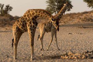 Giraffen im Kgalagadi