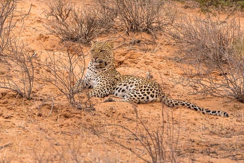 Leopard im Kgalagadi