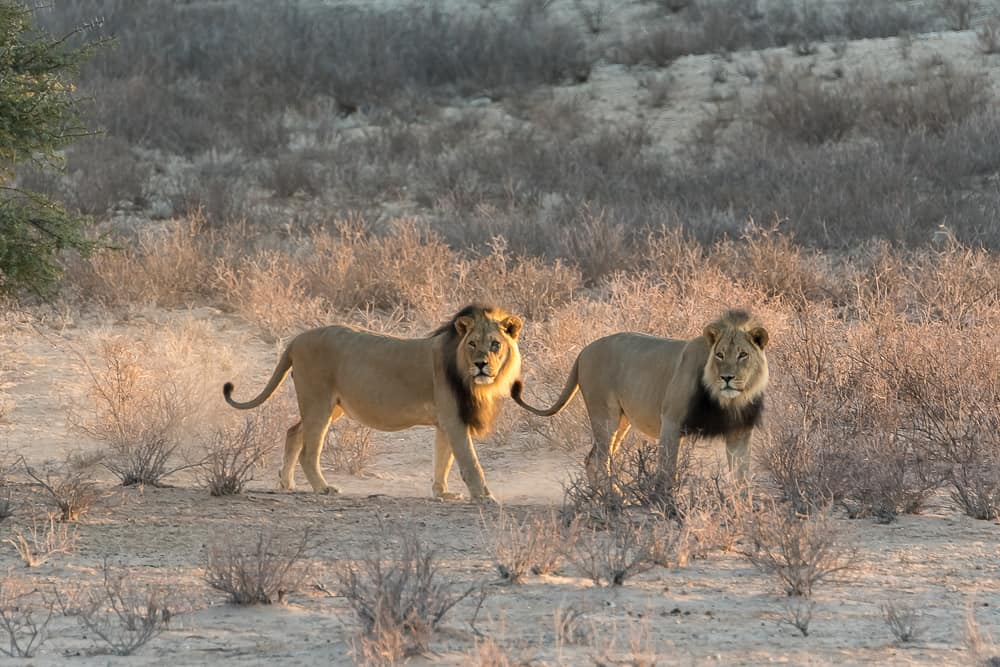 Kalahari-Löwen