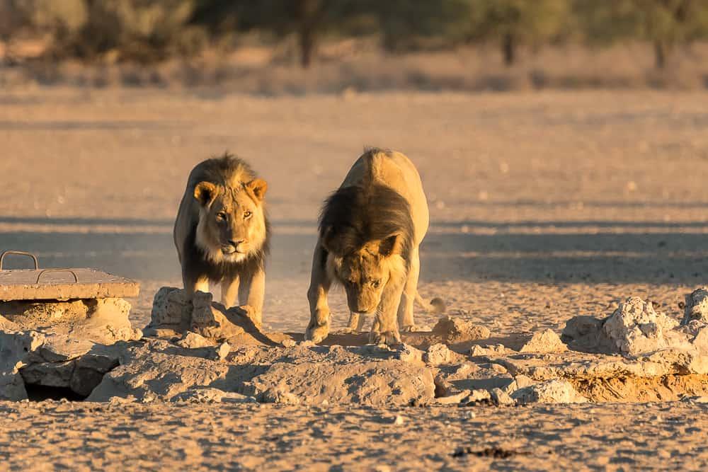 Blog_22_Male-Lions-4