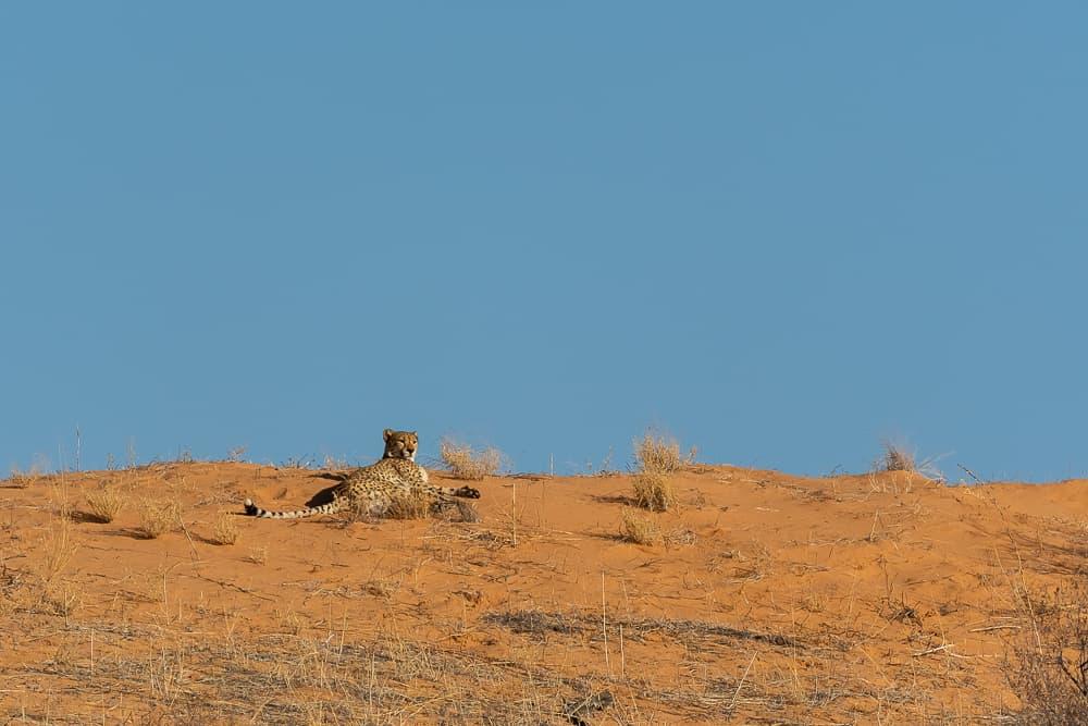 Gepard im Kgalagadi