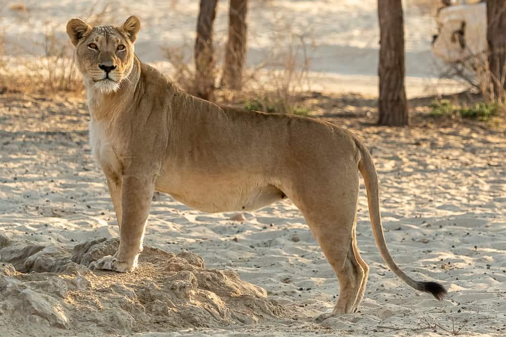 Löwin im Kgalagadi