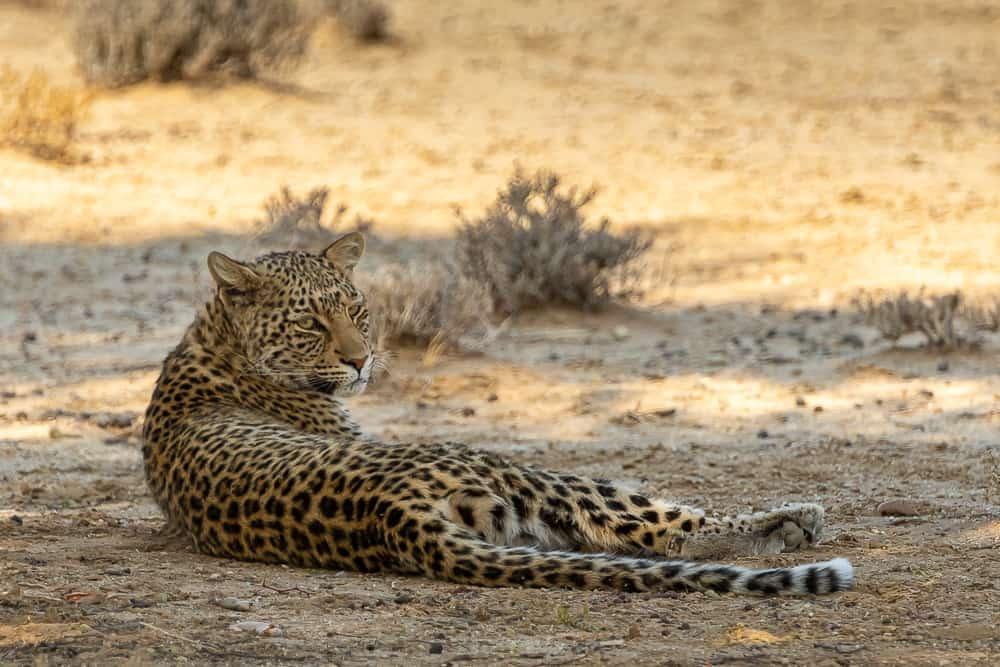 Leopardin im Kgalagadi