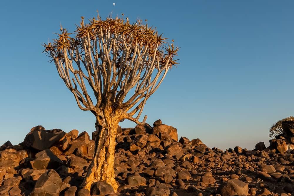 Köcherbäume in Namibia
