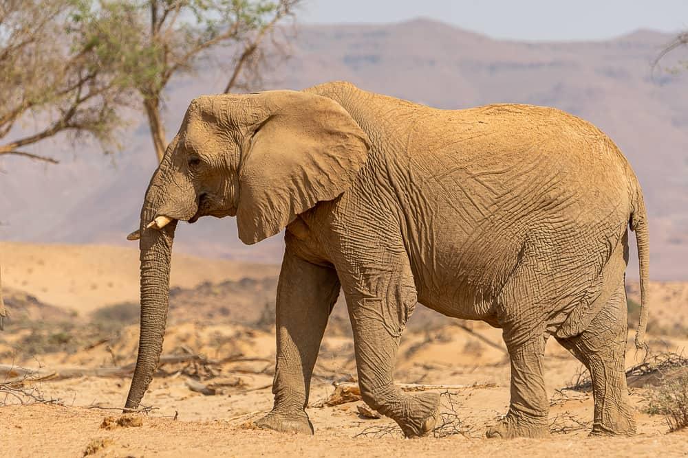 Huab-Elefanten