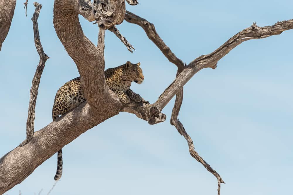 Leopard in Savuti
