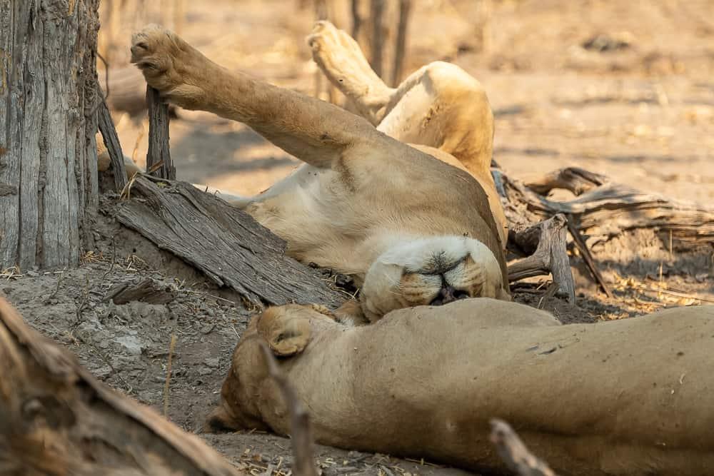 Löwen-Rudel in Khwai