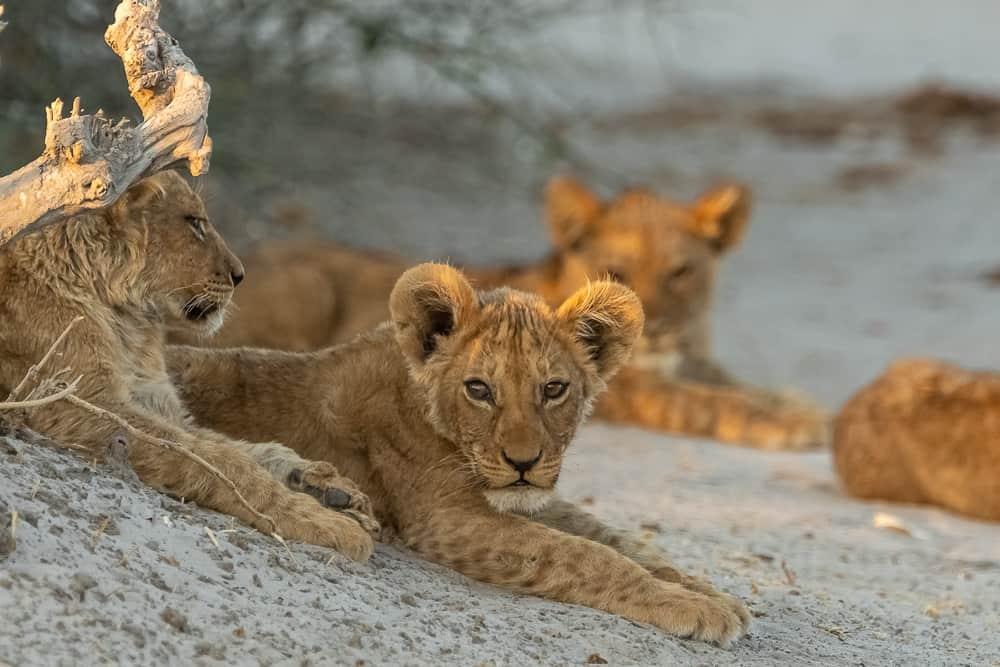 Lion-Cubs in Savuti