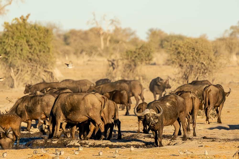 Buffalos in Botswana