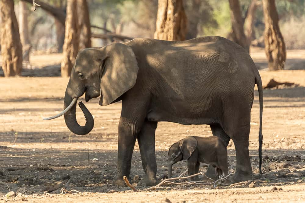 Babyelefanten
