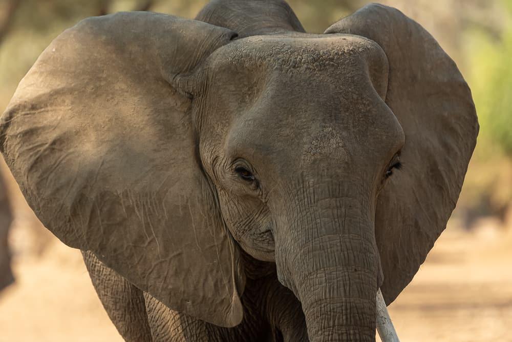 Elefanten in Mana Pools