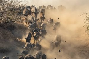 Buffalos in Chitake