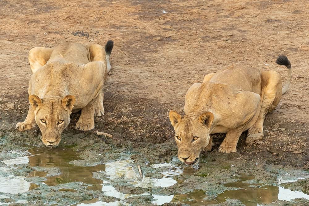 Löwen in Chitake