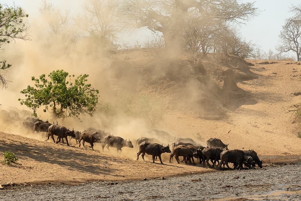 Buffalos at Chitake