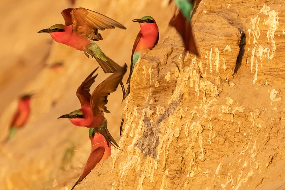Southern Carmine Bee-eater