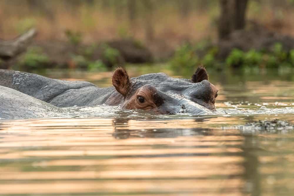 Hippos im Wasserloch