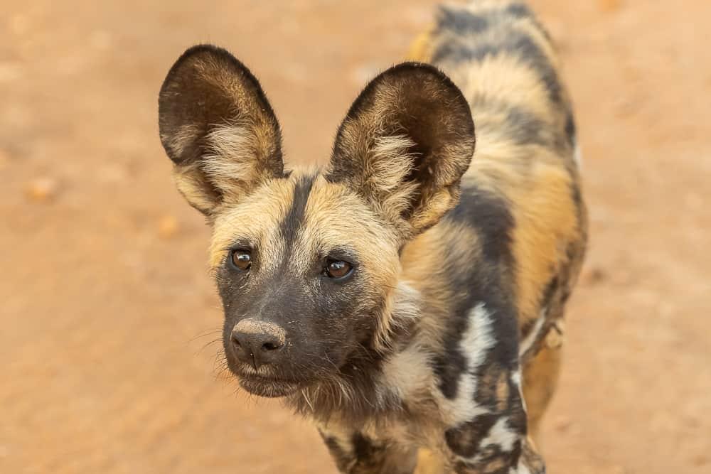 Wild Dogs im South Luangwa