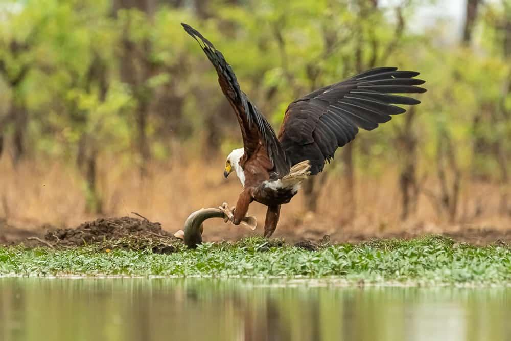 Fish Eagle catching fish