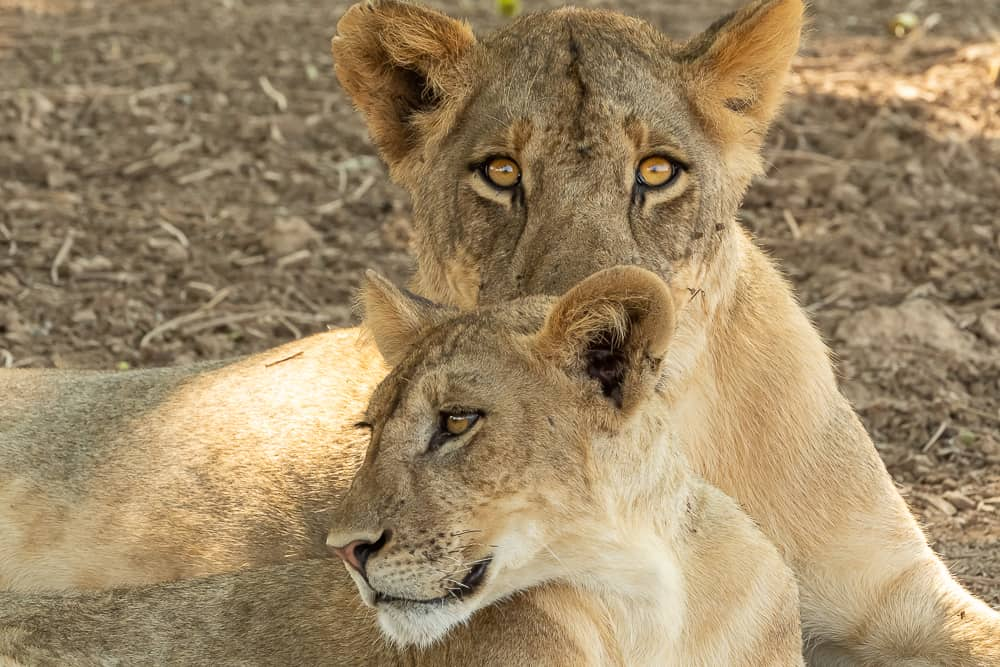 Löwen im Nsefu Sector