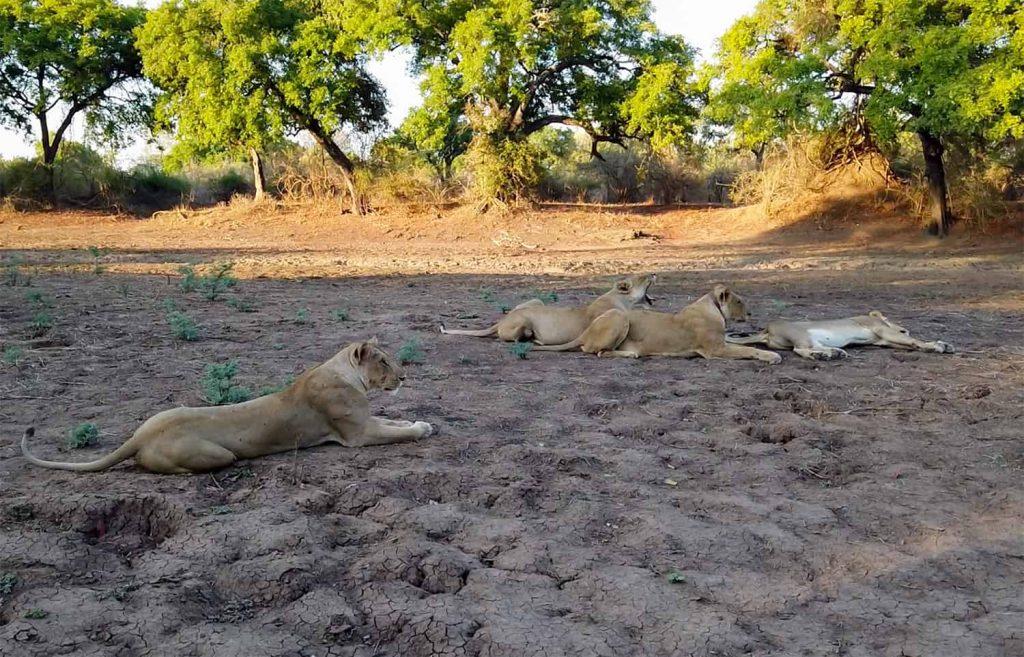 Löwen South Luangwa