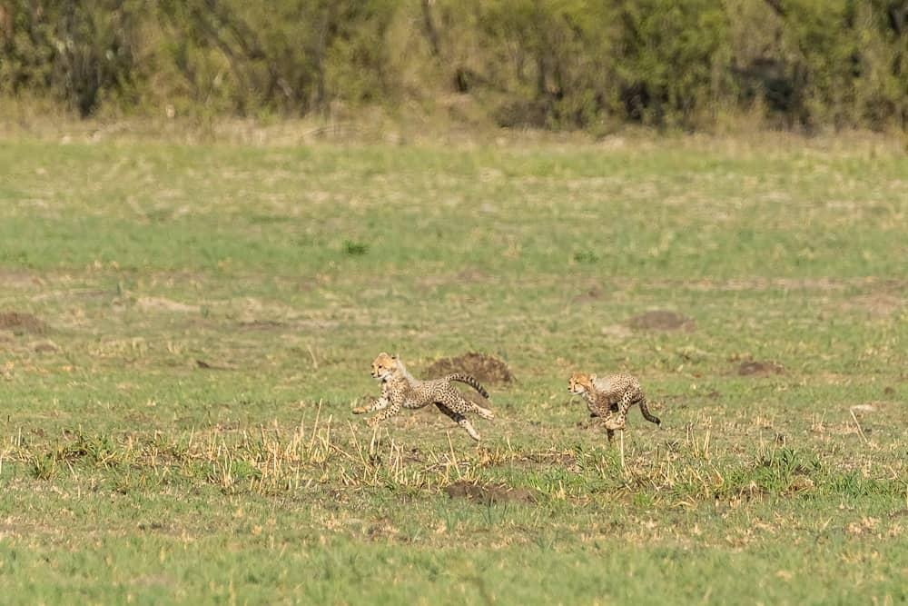 Geparde im Hwange