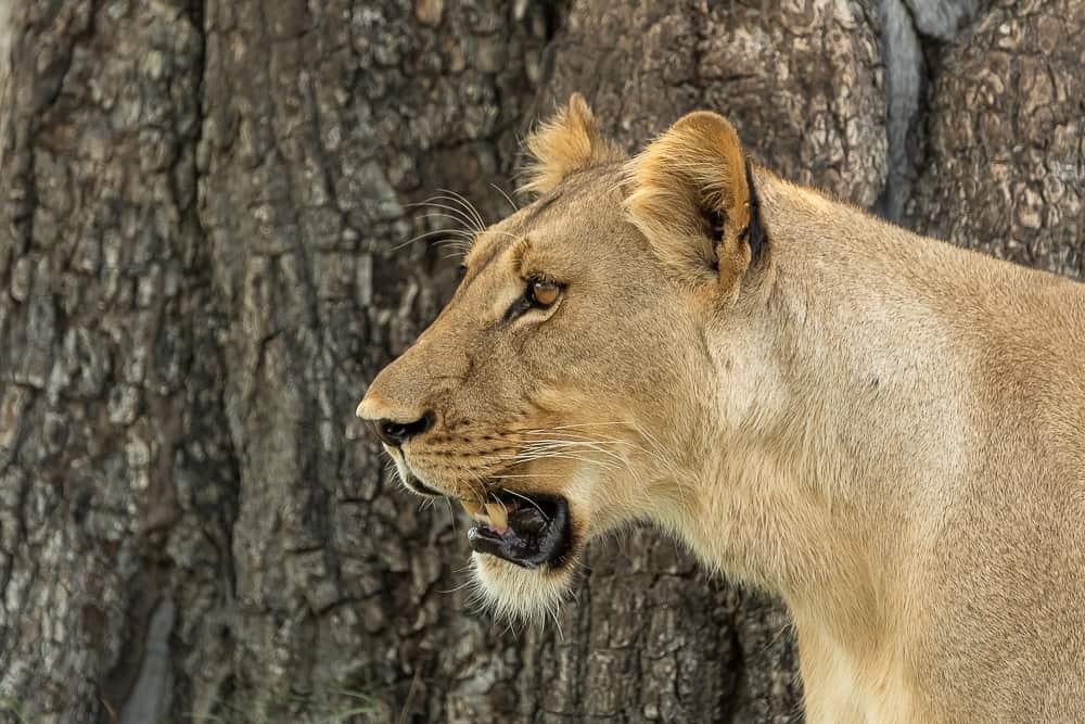 Löwen im Hwange