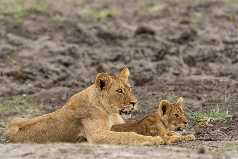 Lion-Cubs im Hwange
