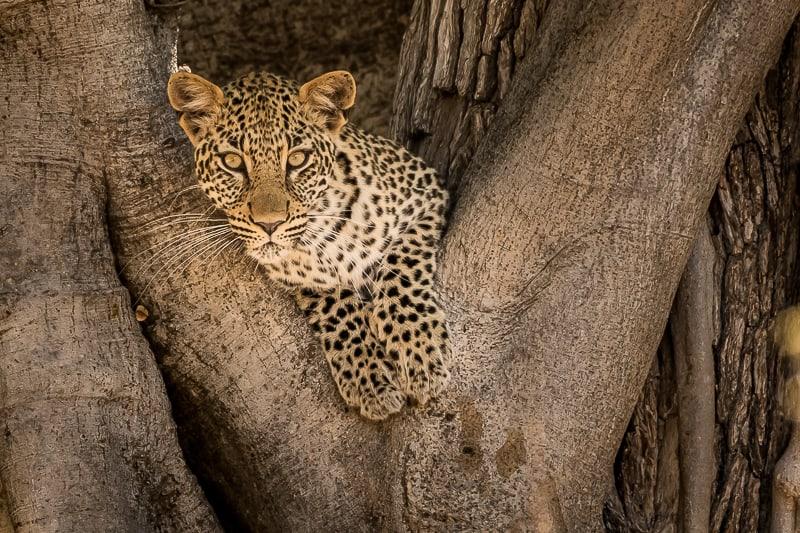 Leopard im Gonarezhou