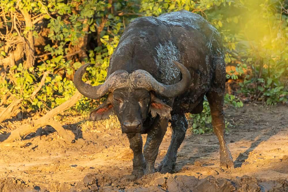 Buffalo im Krüger