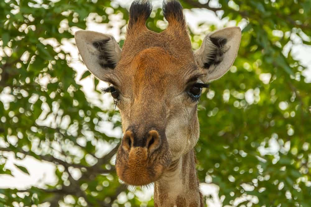 Giraffe im Krüger