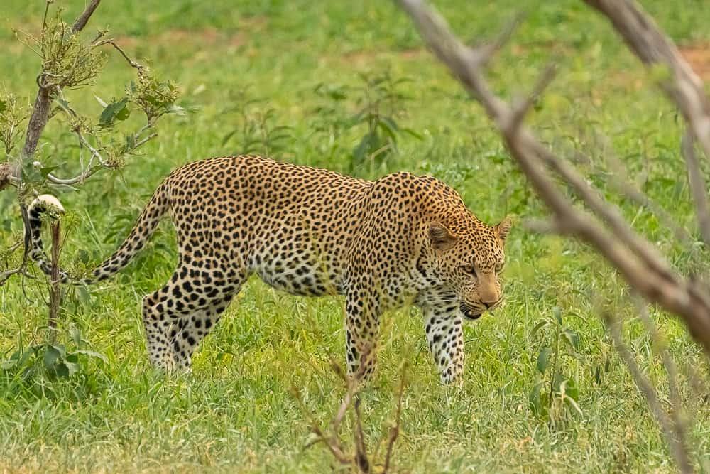 Leopard im Krüger
