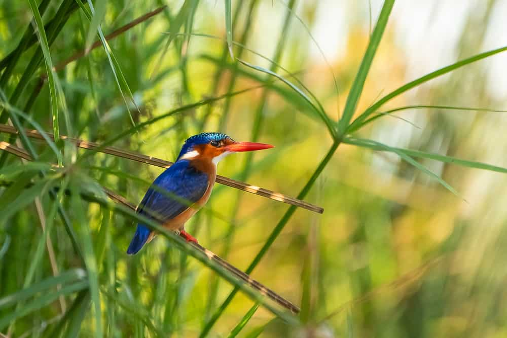 Kingfisher at Lagoon Hide in Zimanga
