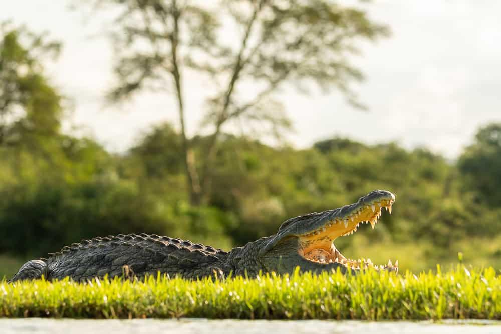 Crocodile at Lagoon Hide in Zimanga