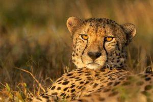 Cheetah at Zimanga Game Reserve