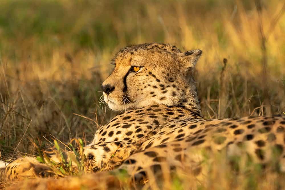 Cheetahs at Zimanga Game Reserve
