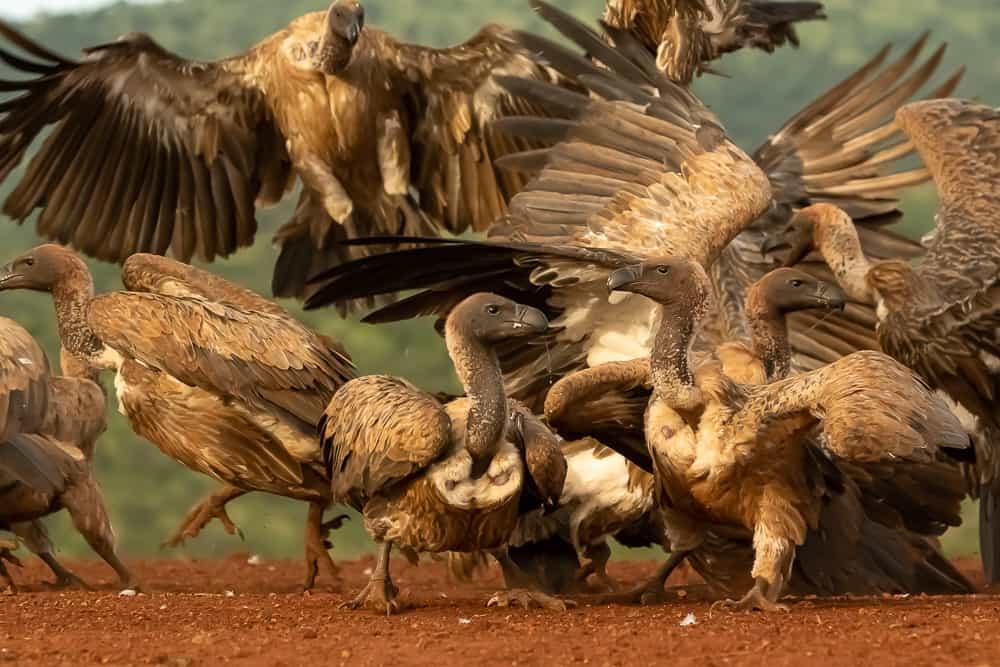 Schakal und Geier in Zimanga