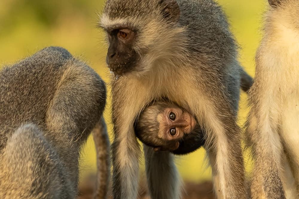 Vervet Monkey at Tamboti Overnight Hide
