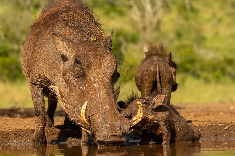Warthog at Tamboti Overnight Hide