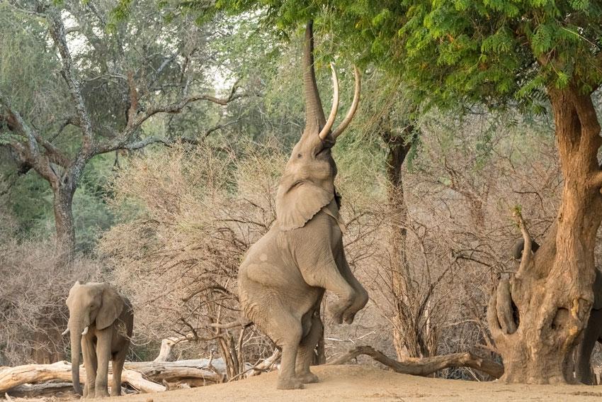 Elefant in Mana Pools