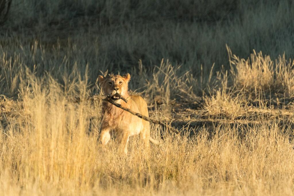 Löwen im KTP