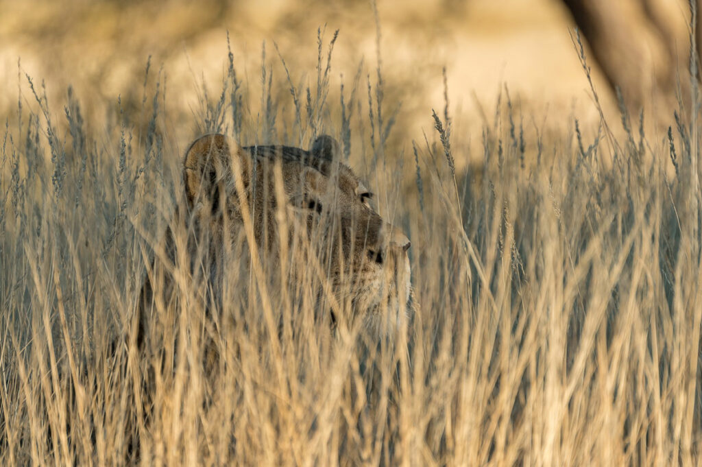 Löwin im KTP