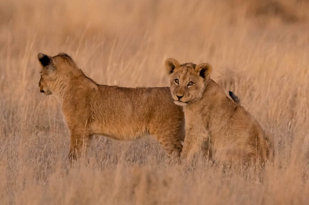 Lion Cubs in Polentswa
