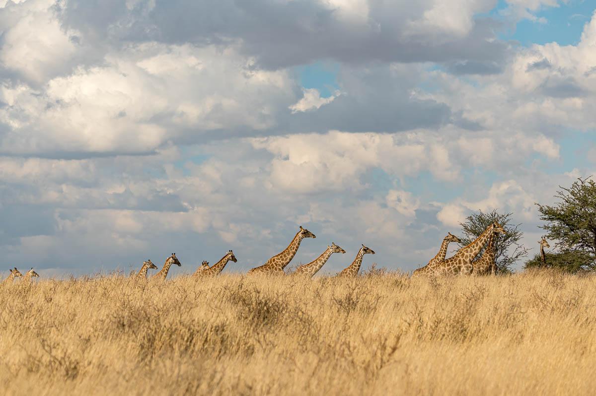 Giraffen im KTP