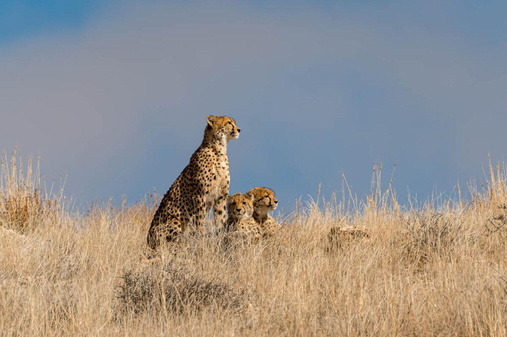 Cheetah-Family im KTP