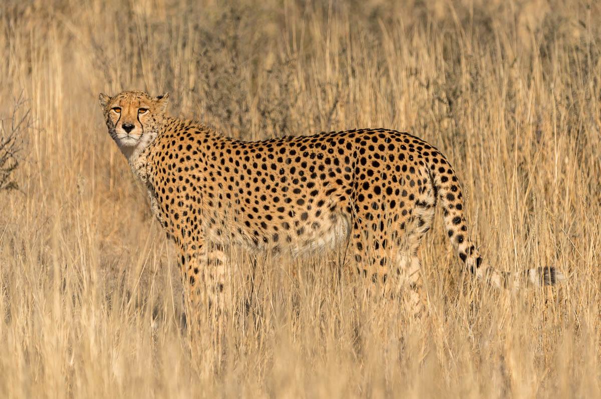 Gepardin im KTP