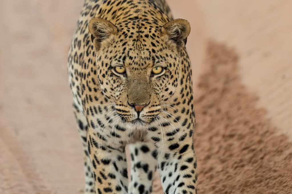 Leopard im KTP