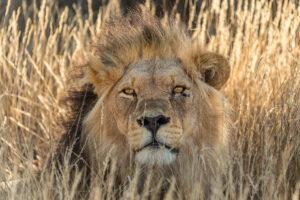 Male Lion im KTP