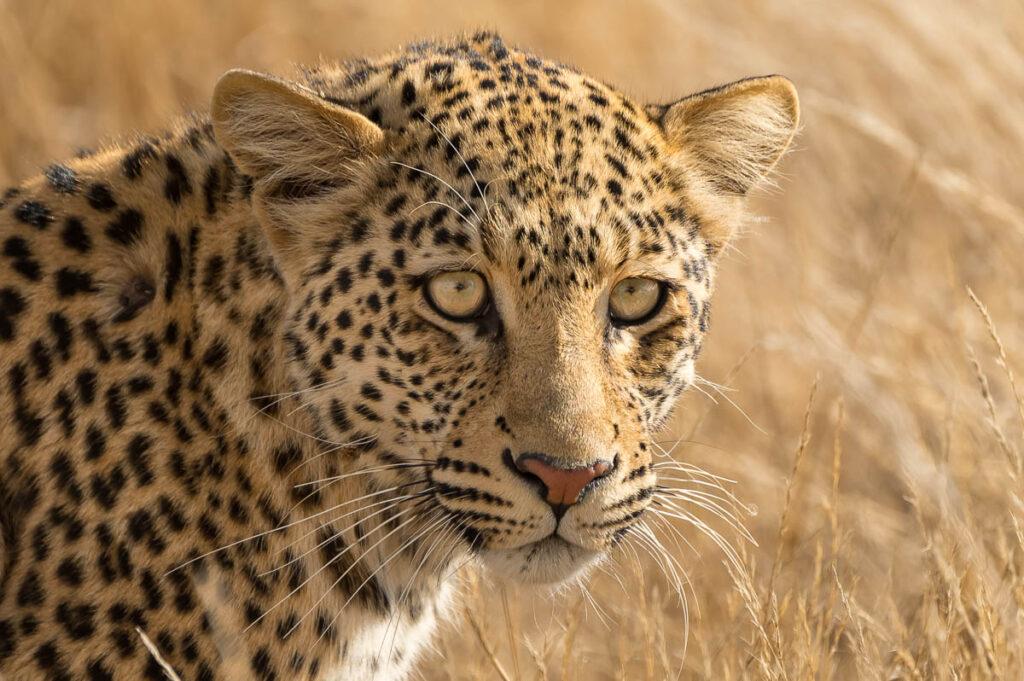Leopardin im KTP